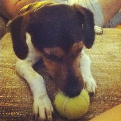 TuckTuck loves tennis balls. (Taken with Instagram)