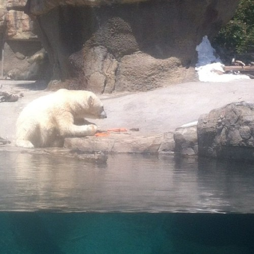 Little known fact: Polar Bears love carrots. Who knew? (Taken with Instagram)