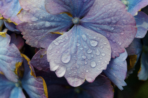isaac-lonetree:  Hydrangea and Water (by russell.tomlin)