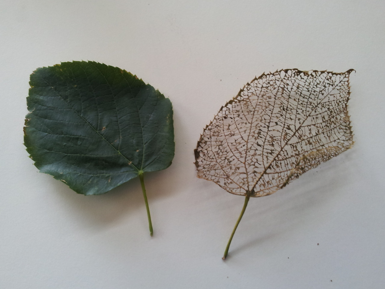 There is something almost fractal or mathematical about the leaf after being stripped of all its green loveliness.