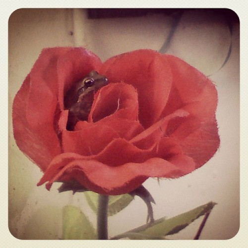 Prince charming #frog #roses #princecharming  (Taken with Instagram)