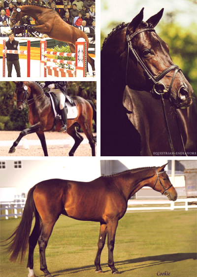 Trakehner Appreciation