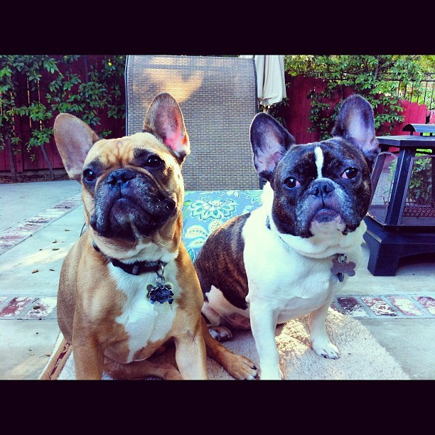 My boys #frenchies (Taken with Instagram at Casa de Grimes)