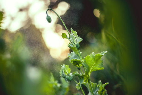 Poppy by A. Aleksandravičius on Flickr.