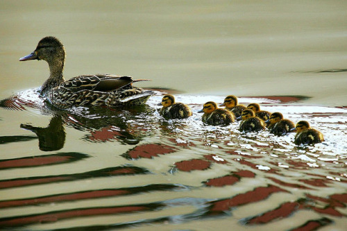 worldlyanimals:  Duck family in a line (CarsonCash)
