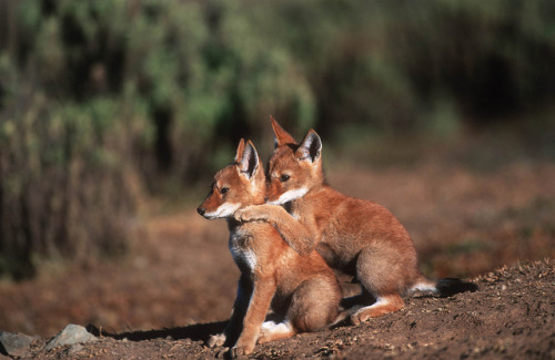 worldlyanimals:  Ethiopian Wolf Pups (Born Free Photos)