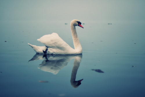 artpixie:  Act II: By a Lake: Scene: The swans swim on the lake (by ewitsoe)