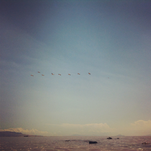 Pelicans flying over the Great Salt Lake at Rozel Point.