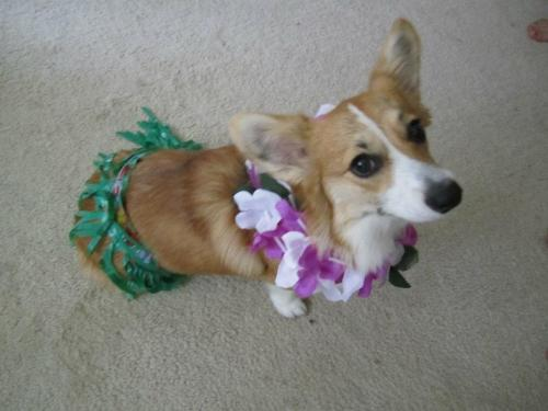 tyrannosauruslex16:  Faye the corgi at my brothers going away party. He got a job in Hawaii.  Faye got laid.