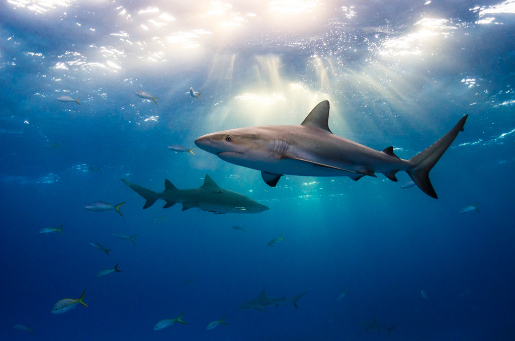 shaaarks:  Sharks and Light (by Todd Bretl)