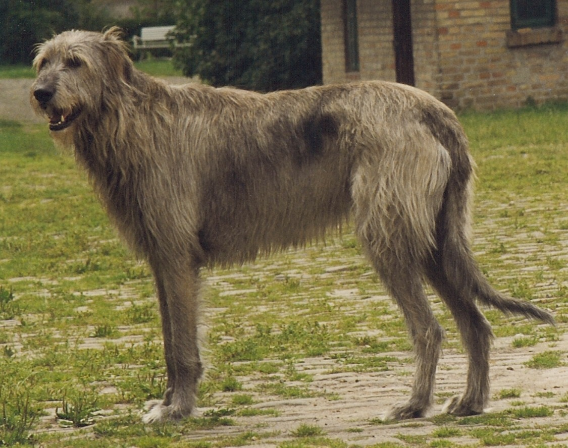 "The Irish Wolfhound (Irish: Cú Faoil) is a breed of domestic dog (Canis lupus familiaris), specifically a sighthound. The name originates from its purpose (wolf hunting with dogs) rather than from its appearance. Irish Wolfhounds are the tallest of dog breeds. The breed is very old; there are suggestions it may have been brought to Ireland as early as 7000 BC.  These dogs are mentioned, as cú (variously translated as hound, Irish hound, war dog, wolf dog, etc.) in Irish laws and in Irish literature which dates from the 5th century or, in the case of the Sagas, from the old Irish period - AD 600-900. The breed almost disappeared, but was successfully revived by efforts of the captain of the British Army D E Graham to recreate it. He drew the line related to Wolfhounds, and as a result developed a modern breed, Irish Wolfhounds, which are today well established as companions and guards.  The word ""Cu"" often became an added respected prefix on the names of warriors, such as Cú Chulainn, the Hound of Ulster, as well as kings denoting that they were worthy of the respect and loyalty of a Cu. Ancient wood cuts and writings have placed them in existence as a breed by 273 BC. However there is indication that they existed even as early as 600 BC when the Tectosages and Tolistobogii Celts sacked Delphi. Survivors left accounts of the fierce Celts and the huge dogs who fought with them and at their side. They were mentioned by Julius Caesar in his treatise, The Gallic Wars, and by 391 BC, they were written about by Roman Consul, Quintus Aurelius Symmachus, who received seven of them, ""canes Scotici"", as a gift to be used for fighting lions, bears, that in his words, ""all Rome viewed with wonder"". Wolfhounds were bred as hunting dogs by the ancients, who called them Cú Faoil. The Irish continued to breed them for this purpose, as well as to guard their homes and protect their stock. Cúchulain, a name which translates literally as ""hound of Culain"", gained his name when as a child, known then as Setanta, he slew the ferocious guard dog of Culain forcing him to offer himself as a replacement. During the English Conquest of Ireland, only the nobility were allowed to own Irish Wolfhounds, the numbers permitted depending on position. They were much coveted and were frequently given as gifts to important personages and foreign nobles. Wolfhounds were the companions of the regal, and were housed themselves alongside them. King John of England, in about 1210 presented an Irish hound,Gelert to Llewellyn, a prince of Wales. The poet The Hon William Robert Spencer immortalised this hound in a poem. In his Historie of Ireland completed 1571, Blessed Edmund Campion gives a description of the hounds used for hunting the wolves on the Dublin and Wicklow mountains. He says: They (the Irish) are not without wolves and greyhounds to hunt them, bigger of bone and limb than a colt. Due to their popularity overseas many were exported to European royal houses leaving numbers in Ireland depleted. This led to a declaration by Oliver Cromwell himself being published in Kilkenny on 27 April 1652 to ensure that sufficient numbers remained to control the wolf population. References to the Irish wolfhound in the 18th century tell of its great size, strength and greyhound shape as well as its scarcity. Writing in 1790, Bewick described it as the largest and most beautiful of the dog kind; about 36 inches high, generally of a white or cinammon colour, somewhat like the Greyhound but more robust. He said that their aspect was mild, disposition peaceful, and strength so great that in combat the Mastiff or Bulldog was far from being an equal to them. The last wolf in Ireland is thought to have been killed at Myshall, Co Carlow in 1786 by a pack of wolfdogs kept by a Mr Watson of Ballydarton. The remaining hounds in the hands of a few families who were mainly descendants of the old Irish chieftains, were now symbols of status rather than hunters, they were said to be the last of their race. Englishman Captain George Augustus Graham is responsible with a few other breeders for reaffirming the dogs' existence. In 1879 he wrote: ""It has been ascertained beyond all question that there are few specimens of the breed still left in Ireland and England to be considered Irish wolfhounds, though falling short of the requisite dimensions. This blood is now in my possession."" Captain Graham devoted his life to ensuring the survival of the Irish wolfdog. Owing to the small numbers of surviving specimens outcrossing was used in the breeding programme. It is believed that Great Dane, Deerhound and Mastiff dogs all played their part in Graham's creation of the dog we currently know. In 1885 Captain Graham with other breeders founded the Irish Wolfhound Club, and the Breed Standard of Points to establish and agree the ideal to which breeders should aspire. The Irish Wolfhound is sometimes regarded as the national dog breed of Ireland but in fact no breed has ever been officially adopted as such. The Wolfhound was historically a dog that only nobles could own and was taken up by the British during their rule in Ireland. This made it unpopular as a national symbol and the Kerry Blue Terrier was adopted by Republicans such as Michael Collins. However, in recent years, the Wolfhound has been adopted as a symbol by both rugby codes, which are organised on an All-Ireland basis. The national rugby league team are nicknamed the wolfhounds, and the Irish Rugby Football Union, which governs rugby union, changed the name of the country's A (second-level) national team in that code to the Ireland Wolfhounds in 2010."