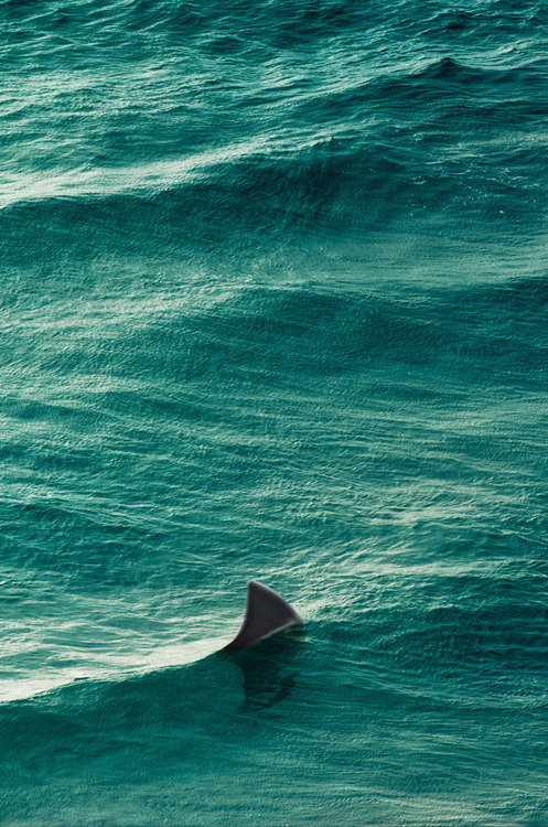 kevvn:  shark via (cubagallery)
