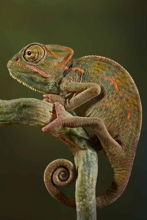 worldlyanimals:  Veiled 'Leon (Blepharopsis)