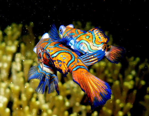 "rhamphotheca:  Mandarinfish (Synchiropus splendidus) mating, Lembeh Straits, Indonesia maximum length: 6 cm. ""Dragonette"" family (Callionymidae). Slow, moving, found near reefs in the tropical Pacific. Feed mainly on small marine invertebrates. (photo: Steve Childs)"