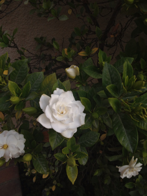 Gardenia bush is blooming :)