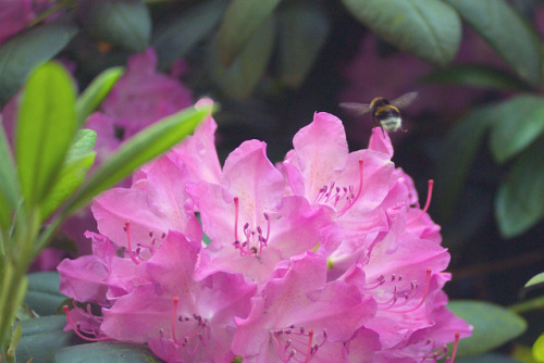 Rhododendron on Flickr.