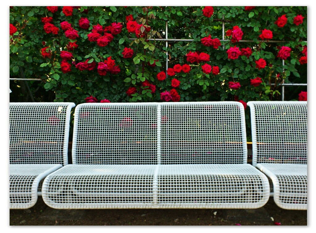 White Bench With Red Roses