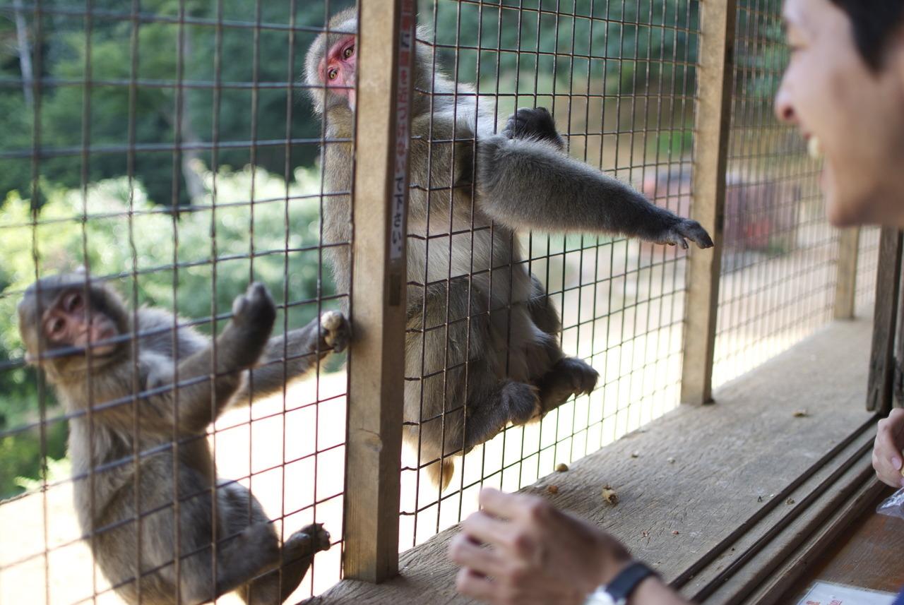 Feeding macaques at the Arashiyama Monkey Park. Kyoto.