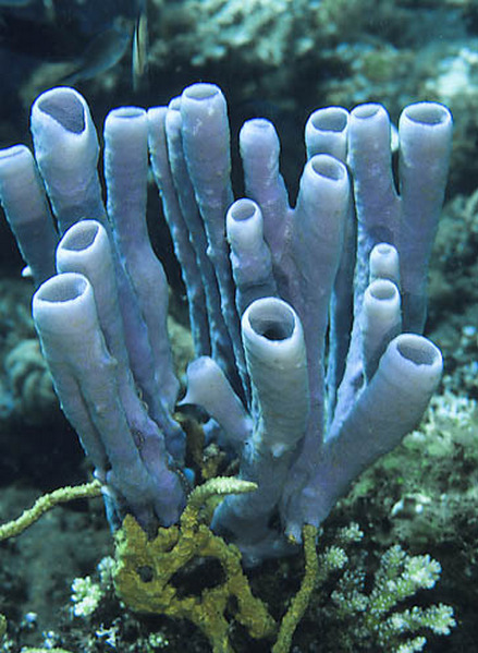 Purple tube sponge (Aplysina lacunosa) They are multicellular organisms which have bodies full of pores and channels allowing water to circulate through them, consisting of jelly-like mesohyl sandwiched between two thin layers of cells. Sponges have unspecialized cells that can transform into other types and which often migrate between the main cell layers and the mesohyl in the process. Sponges do not have nervous, digestive or circulatory systems. Instead, most rely on maintaining a constant water flow through their bodies to obtain food, oxygen and remove wastes… (read more: Wikipedia)