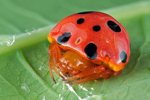 ircimages:  Spider Disguised as Ladybug