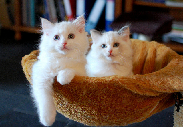 Juliet and Amelie by Pacificat Ragdolls on Flickr.