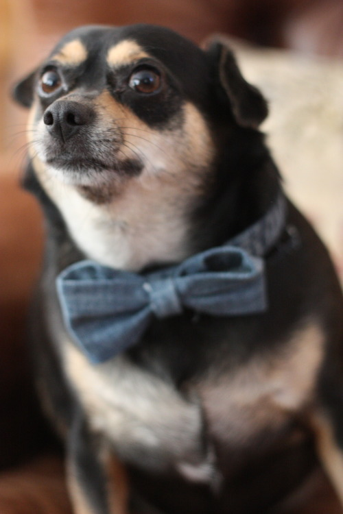 nvenegas:  DIY bows made from old jeans, featuring my dog Kobe! -n.venegas  Cutee  .