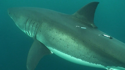 "Great white sharks are in the news a lot this week, what with a kayak bitten by a large shark while the occupant was paddling off Santa Cruz. On the East Coast, there have been sightings close to shore near Cape Cod. And right before Fourth of July, the beach off La Jolla in southern California was closed because of a great white swimming close to shore.  None of the California sightings come as a surprise to researchers with our Project White Shark team. Since 2002, we and our university colleagues have documented the movements and migrations of great white sharks along our coast. We've confirmed that adults make seasonal migrations from the coast to waters as far west as Hawaii—and beyond—as well as to a place midway between the coast and Hawaii that our researchers have dubbed the ""White Shark Café."" Those adults are returning to the Central Coast right about now, a migration timed to the arrival of elephant seals and other pinnipeds at breeding colonies in the Farallon Islands outside San Francisco Bay and at Point Año Nuevo north of Santa Cruz. Off southern California, smaller juvenile great whites are common much of the time, including in waters right outside the surf zone along popular beaches. There are few reported interactions with people, because the young sharks feed on schooling fishes, small sharks and rays, and similar prey—animals whose shape is not easily confused with that of a person swimming, surfing or paddling on the surface. We'll be back in the field in August, for another season of tagging both adults and juveniles. We already have data from around 250 tags on adults and around 50 tags on juveniles."