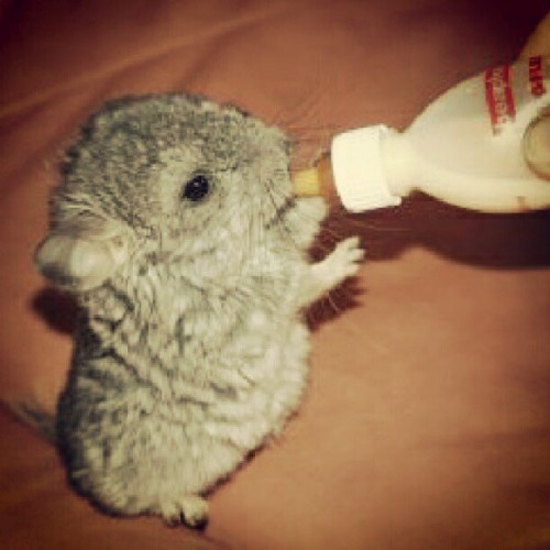 The more people I meet the more I like my chinchilla… #MilanaMay #thespringsoul #animal #pet #chinchilla #cute #main #thekube #slope #manaus #sweet #baby #milk #drink #feed #people  (Taken with Instagram)
