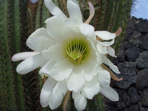 Bedtime Flowering cactus - the flowers come right out on stalks with the large central pieces they look like triffids. Last few Bedtime Cactus pictures left.