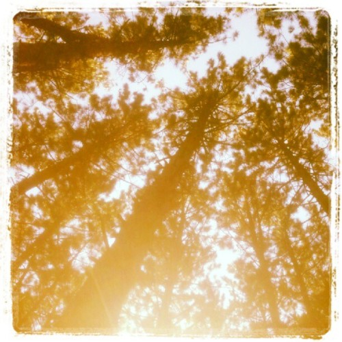 My tall trees. #dadplanted #halstrail (Taken with Instagram at Hal's Trail)