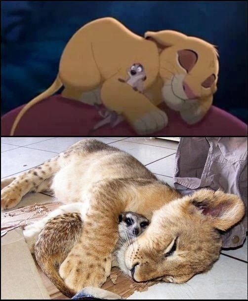 rocketboom:  End of the day Moment of Cute: We present Simba and Timon, in real life.