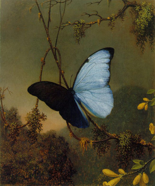 historical-paintings:  Martin Johnson Heade; Blue Morpho Butterfly.