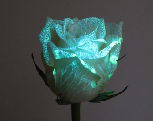 herekitty:  Genetically modified flowers glow in the dark Australian company Bioconst has released a line of genetically modified fluorescent flowers that produce a protein that glow when exposed to a proprietary UV LED  Not usually a fan of genetic modification, but this shit is cool (and hopefully non-toxic and sustainably/organically grown)
