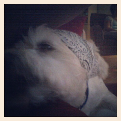 My pup the badass. #badass #bandana #maltese #chihuahua #instapet #instadog #instabadass (Taken with Instagram at couch)