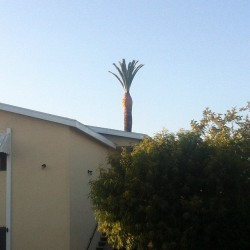 Spongebob's Pineapple #spongebob #tree #green #nature #life #cut #la (Taken with Instagram)