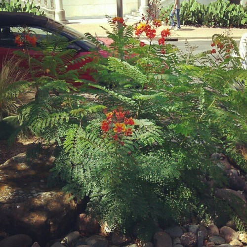 Another Pride of Barbados. Lovely. (Taken with Instagram)