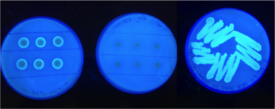 aeineh:  Vibrio cholerae growth on calcofluor agar at day five. (37*C/ 25*C/ 37*C) This is really cool. In this indicator assay, the calcofluor glows under UV light with the presence of cellulose binding. The brighter it glows, the greater the presence of cellulose. Vibrio bacteria biofilms are comprised mainly of cellulose. Its interesting, however, that the biofilm is only formed in a ring, almost as a protective barrier. I'm not sure what this means, because other vibrio don't form cellulose like this. But the image itself is impressive.