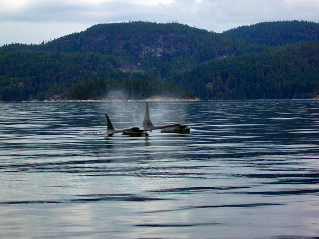 Killer Whales by Macpablo_Campbell_River on Flickr.