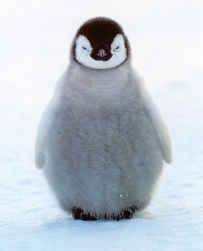 worldlyanimals:  Baby Penguin (tnorm11)