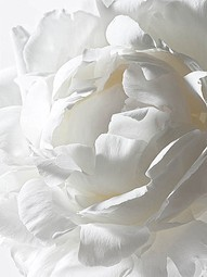 gorgeous white rose