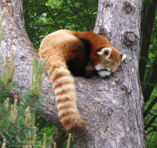 worldlyanimals:  Red Panda (caybeach)