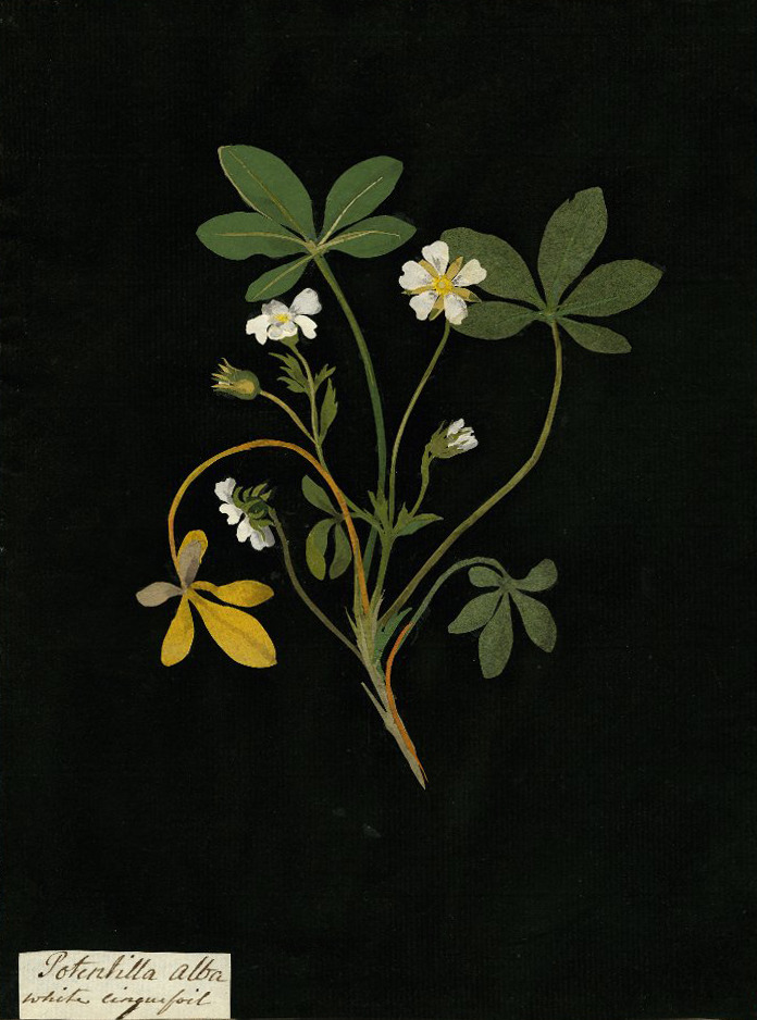 aleyma:  Mary Delany, Potentilla Alba (White cinquefoil) collage, 1777 (source).