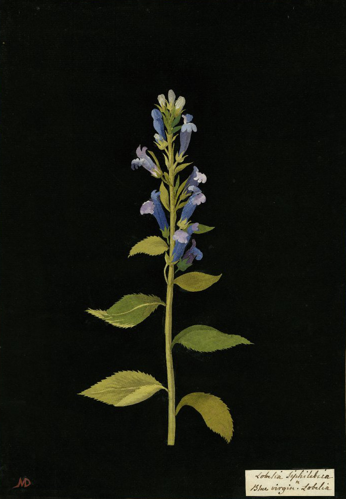 aleyma:  Mary Delany, Lobelia Siphilectica (Blue Virgin Lobelia) collage, 1776 (source).