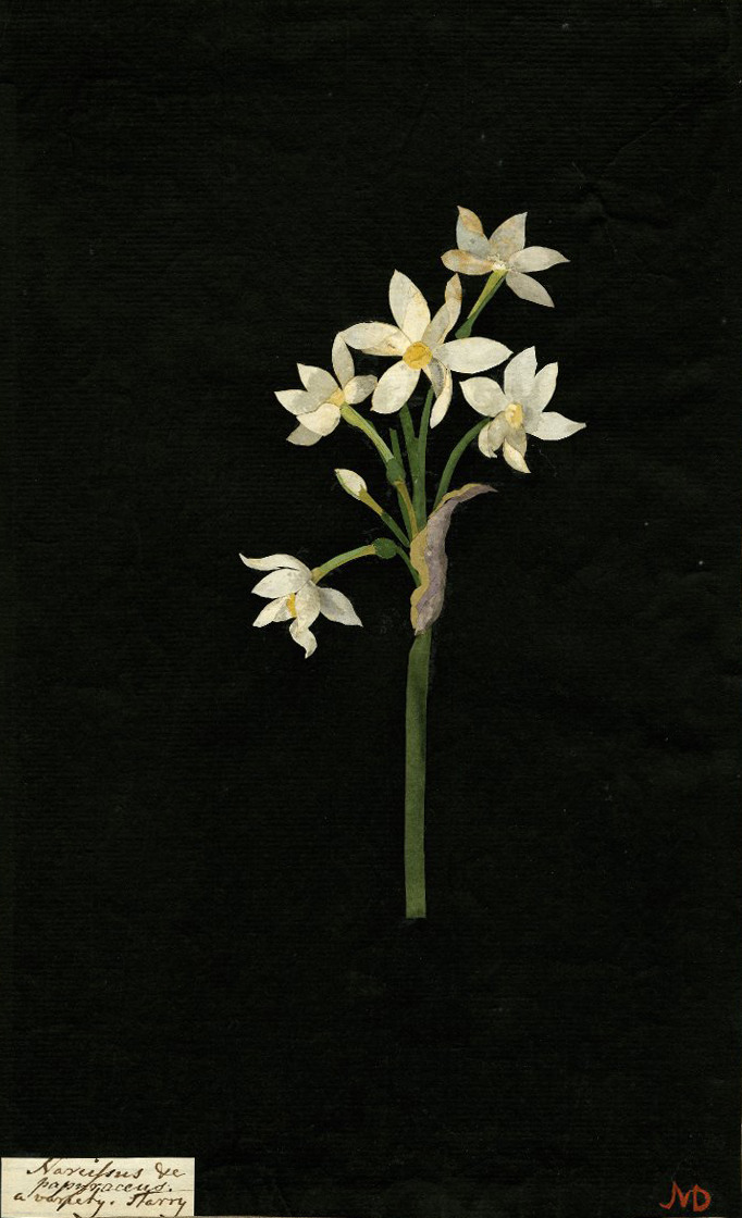 aleyma:  Mary Delany, Narcissus Papyraceus collage, 1776 (source).