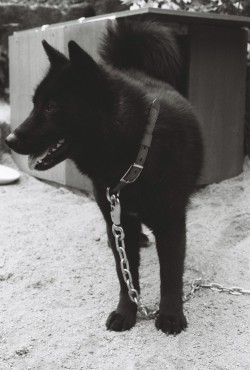 recyclingbin:  Black Jindo