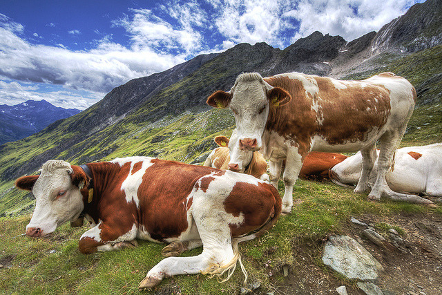 some cattles in the Alps on Flickr.