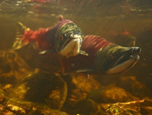 Why Are Sockeye Salmon in Trouble? The answer could point to big problems looming in Earth's waters. keep reading Image: Ocean conditions may be making life harder for some groups of wild salmon like these sockeye salmon on a spawning migration. Corbis