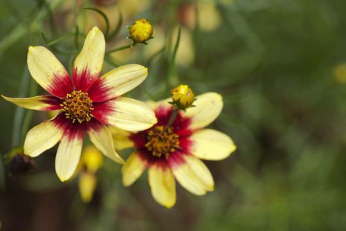Coreopsis tangles on Flickr.