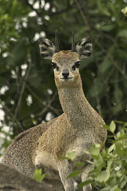 njwight:  The klipspringer is only about 22 inches high at the shoulder and weighs in about 20-40 pounds. They are rock climbers with incredibly strong back legs and can launch themselves up the side of a smooth wall to land, four feet, on a projection the size of a lemon. Quite extraordinary little guys.
