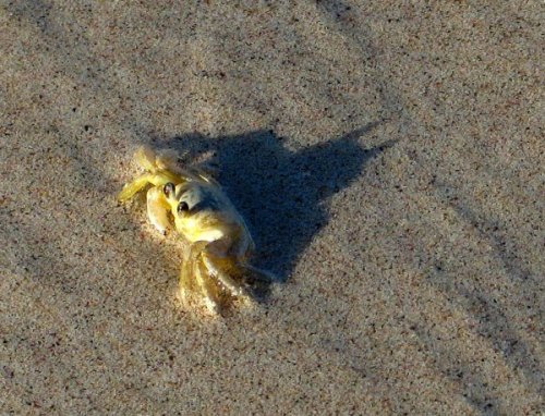 Crab is secretly Batman…..